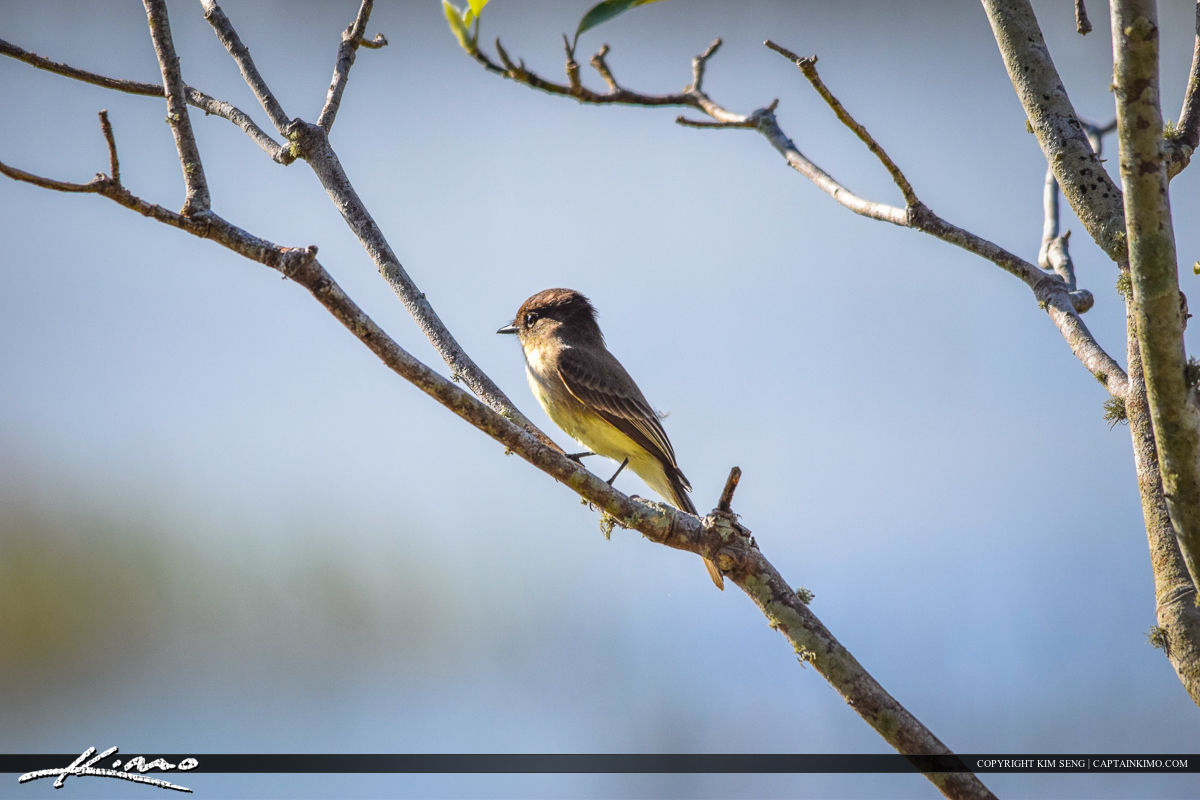 Flycatcher Perched on Branch Bird Photography
