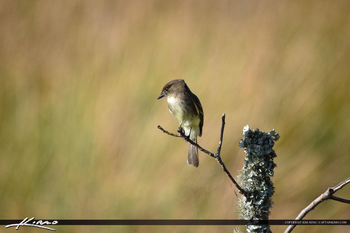 Flycatcher Watching Bird Photography