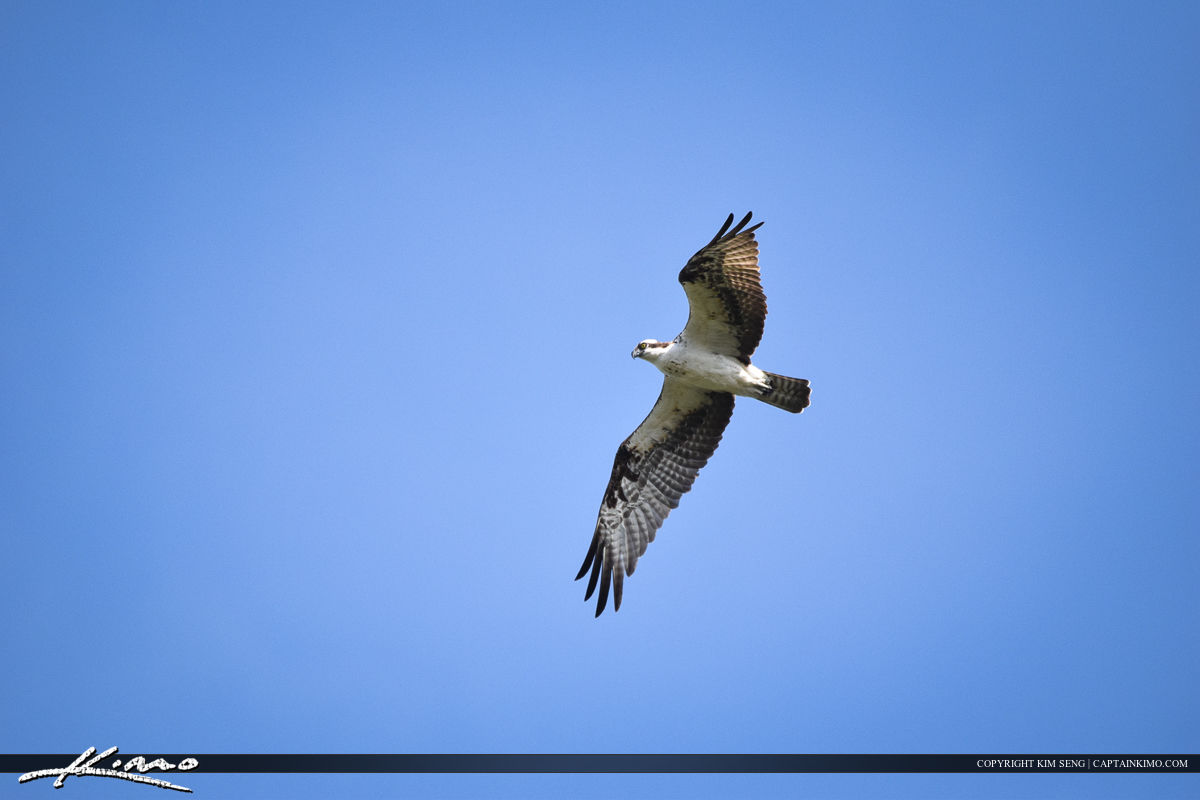 Osprey in Flight Bird Photography