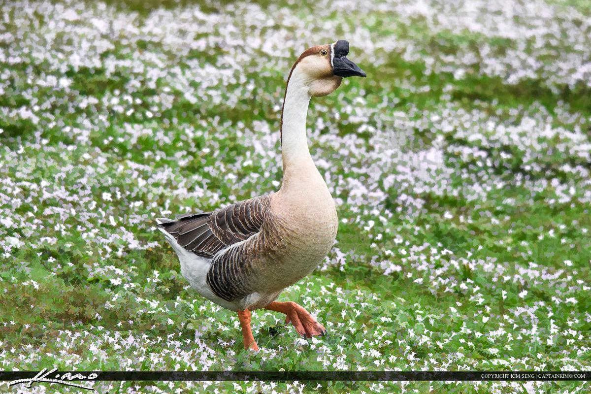 Swan Goose at Park in Jupiter Florida