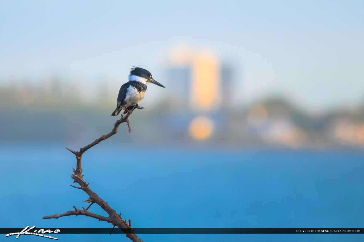 Kingfisher at Beach Bird Photography