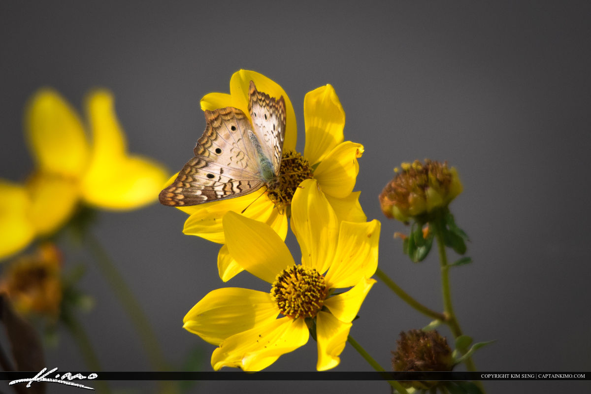 Peacock Butterfly on Yellow Flower