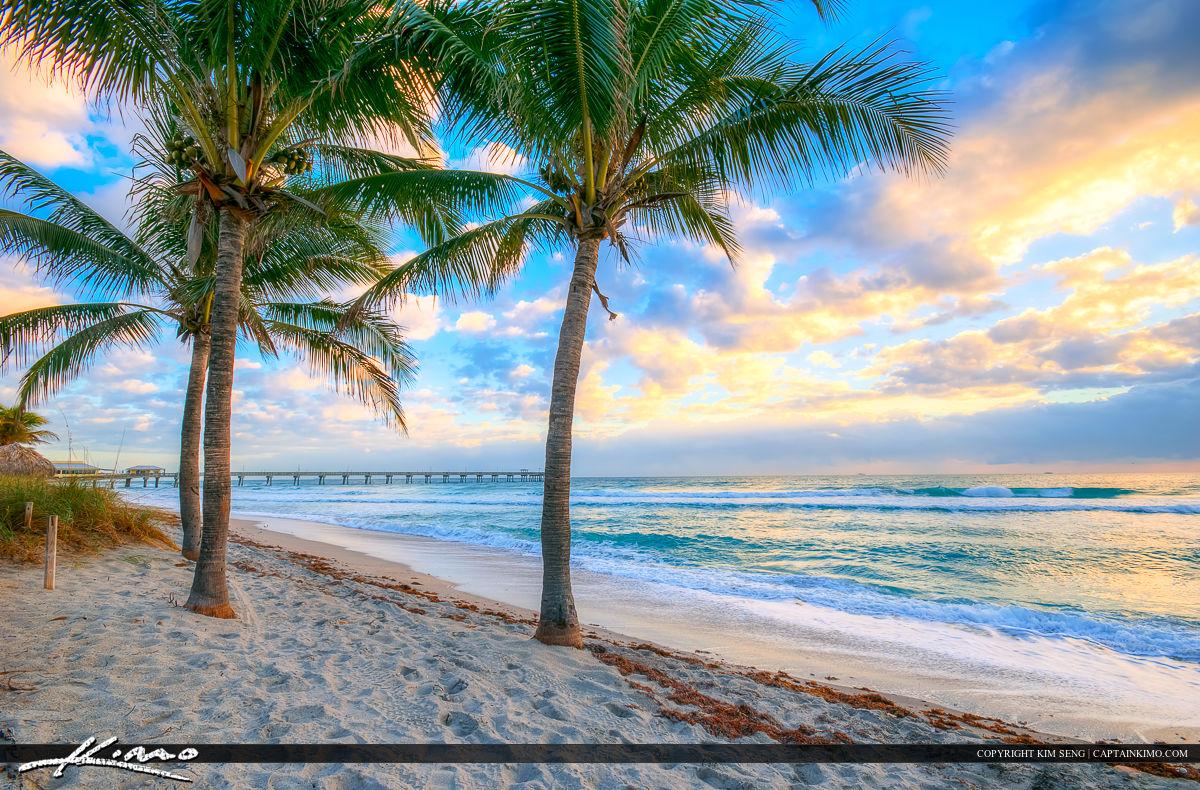 Dania Beach Florida Coconut Trees along Beach