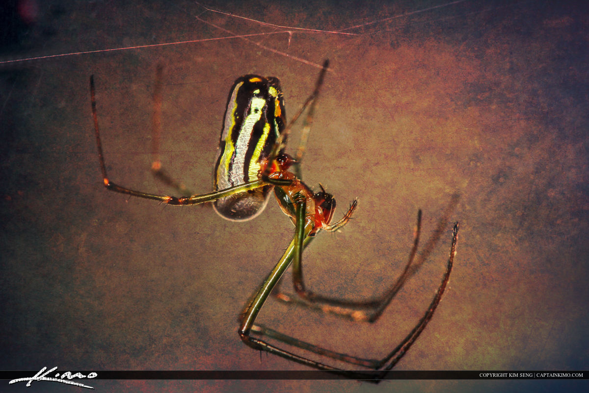 Orchard Spider Texture Photo Art Macro Photography