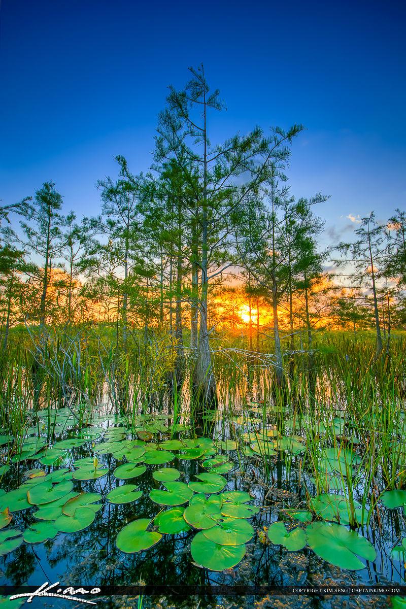 Wetlands Sunrise Lilypads and Cypress Trees Palm Beach Gardens