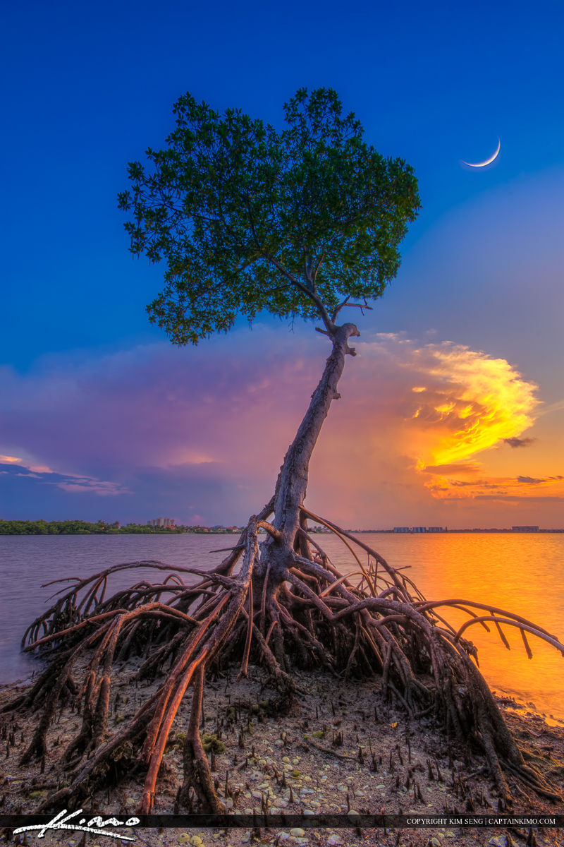 Mangrove Tree Under Crescent Moon at Lagoon
