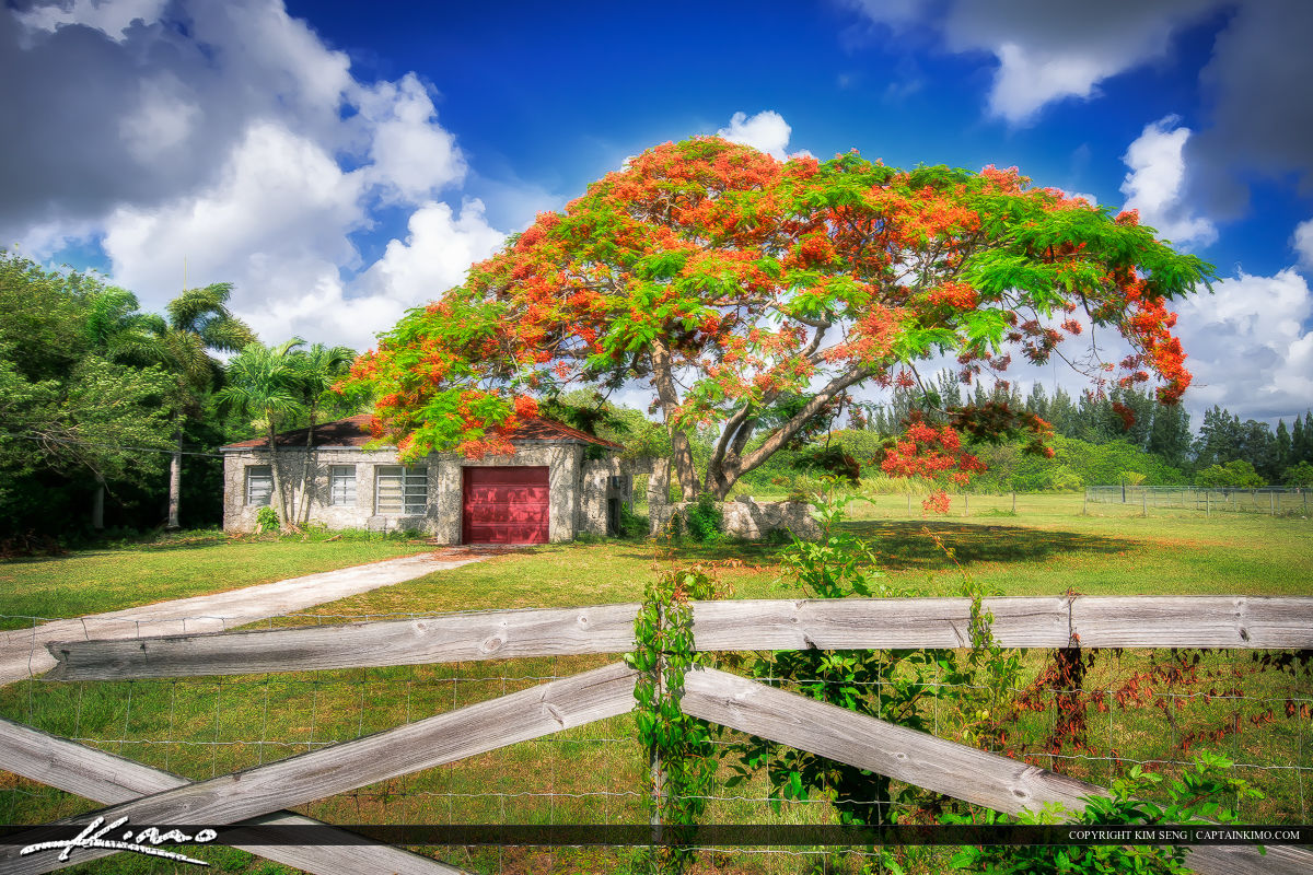 Poinciana Tree and Old Stone house in Homestead Florida