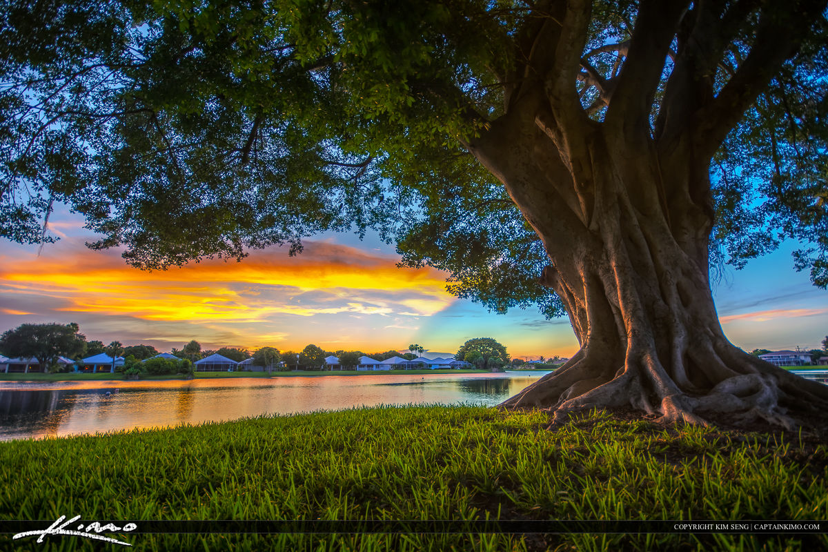 Palm Beach Gardens Sunset Under Ficus Tree