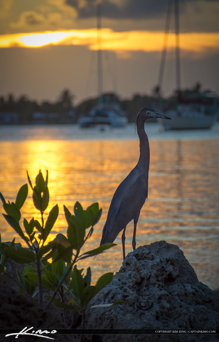 Small Blue Heron at Shepard Park along St Lucie River