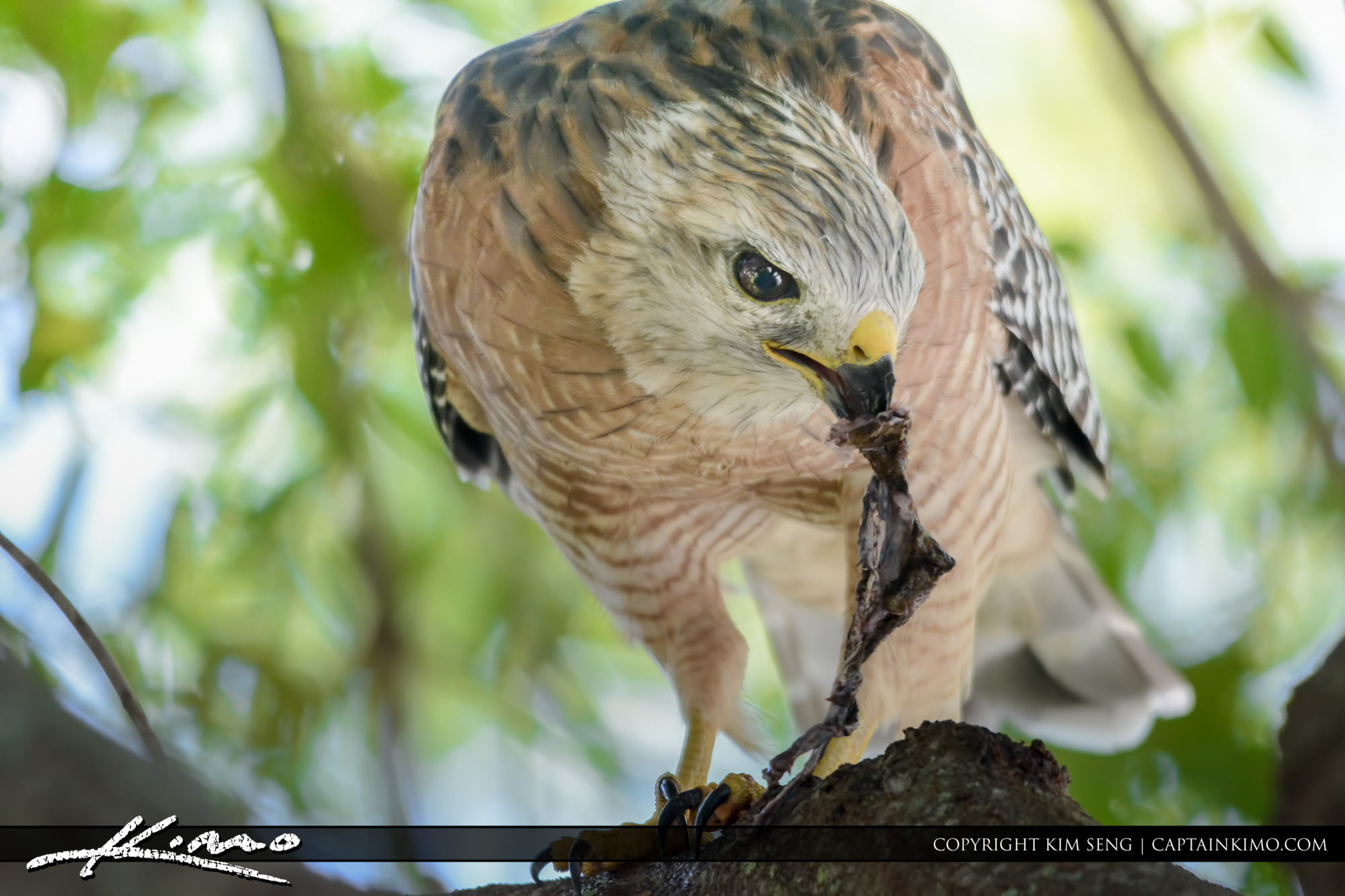Red Tailed Hawk Eating Cane Toad
