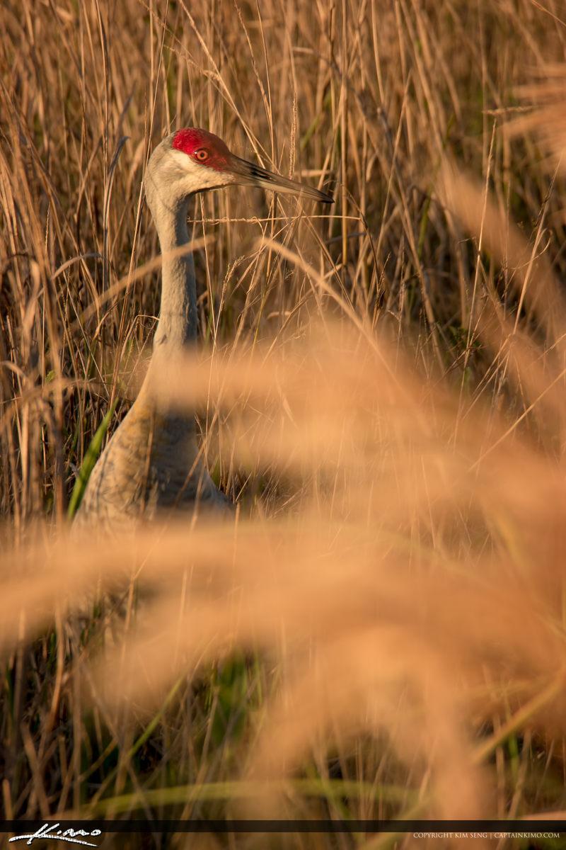 Sandhill Crane in Golden Brown Field