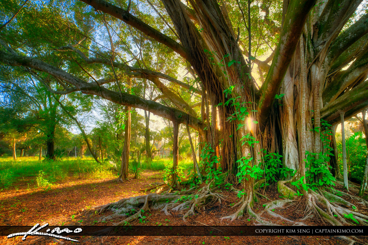 Banyan Tree Aurora