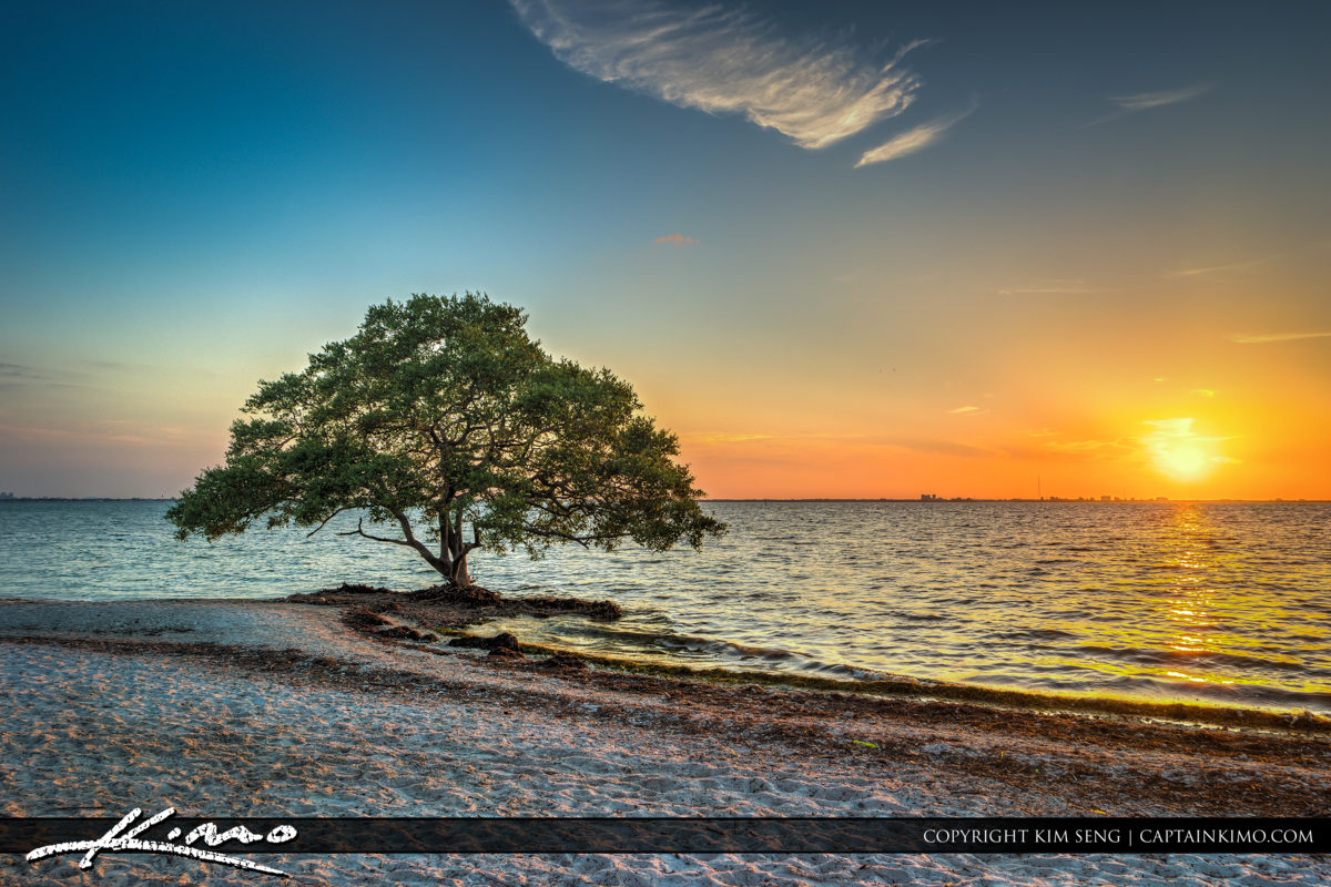 Tampa Florida Mangrove Tree at Bay