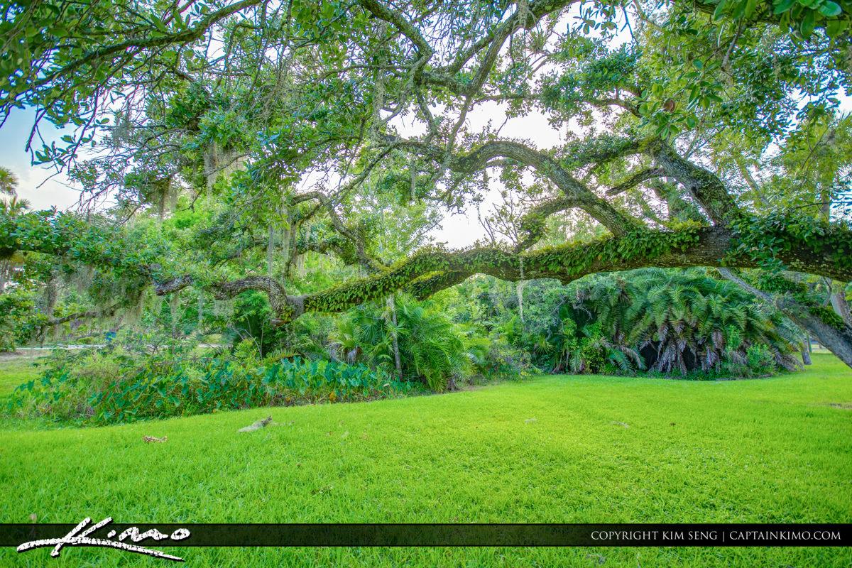 Fort Pierce White City Park Oak Tree Over Green Grass