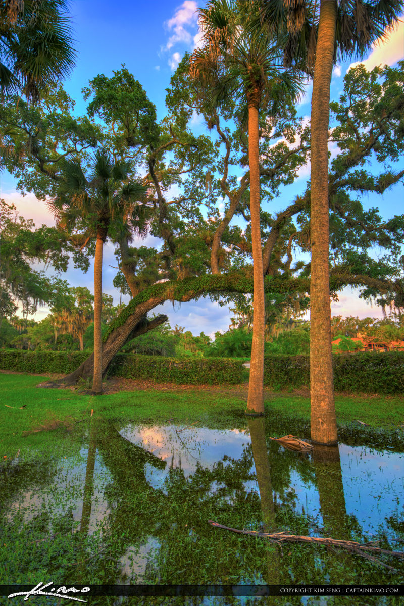 Fort Pierce White City Park Large Oak and Cabbage Palm