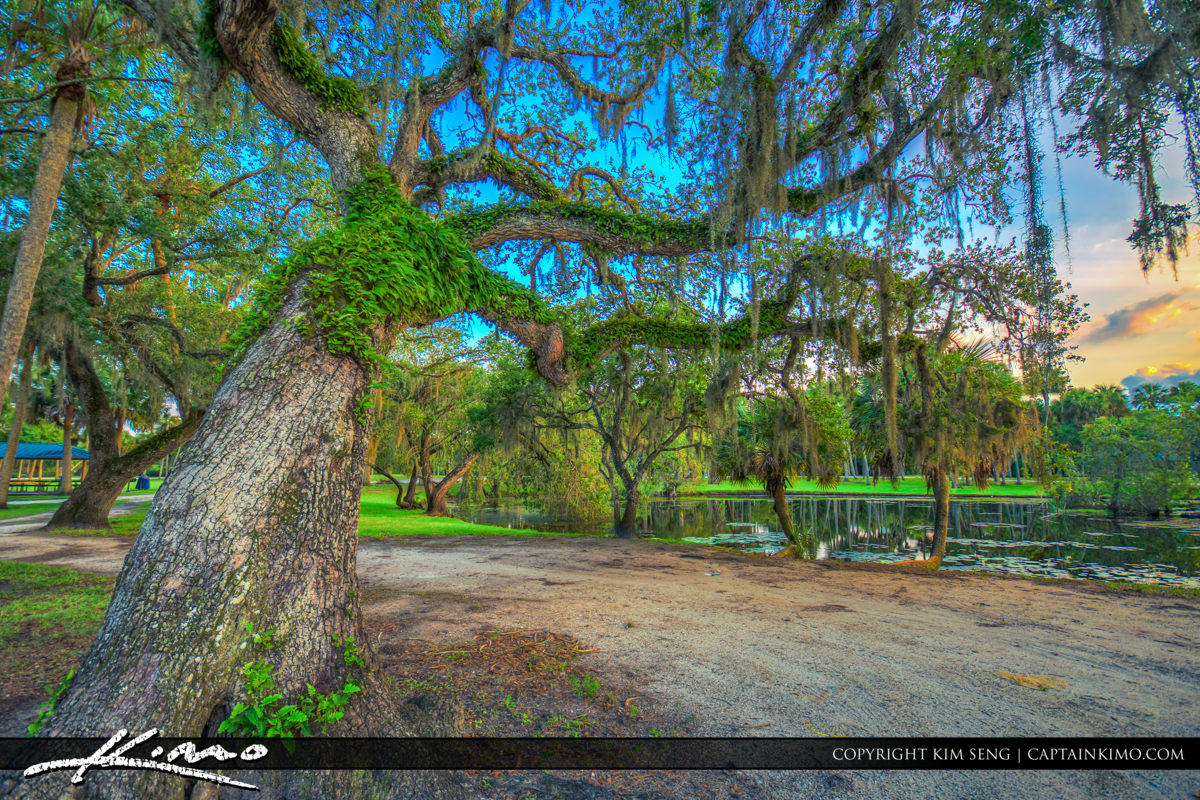 Fort Pierce White City Park Road with Oak and Resurrection Fern