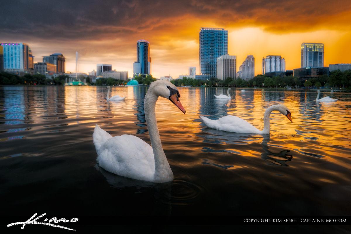 Swan at Lake Eola Park Orlando Sunset