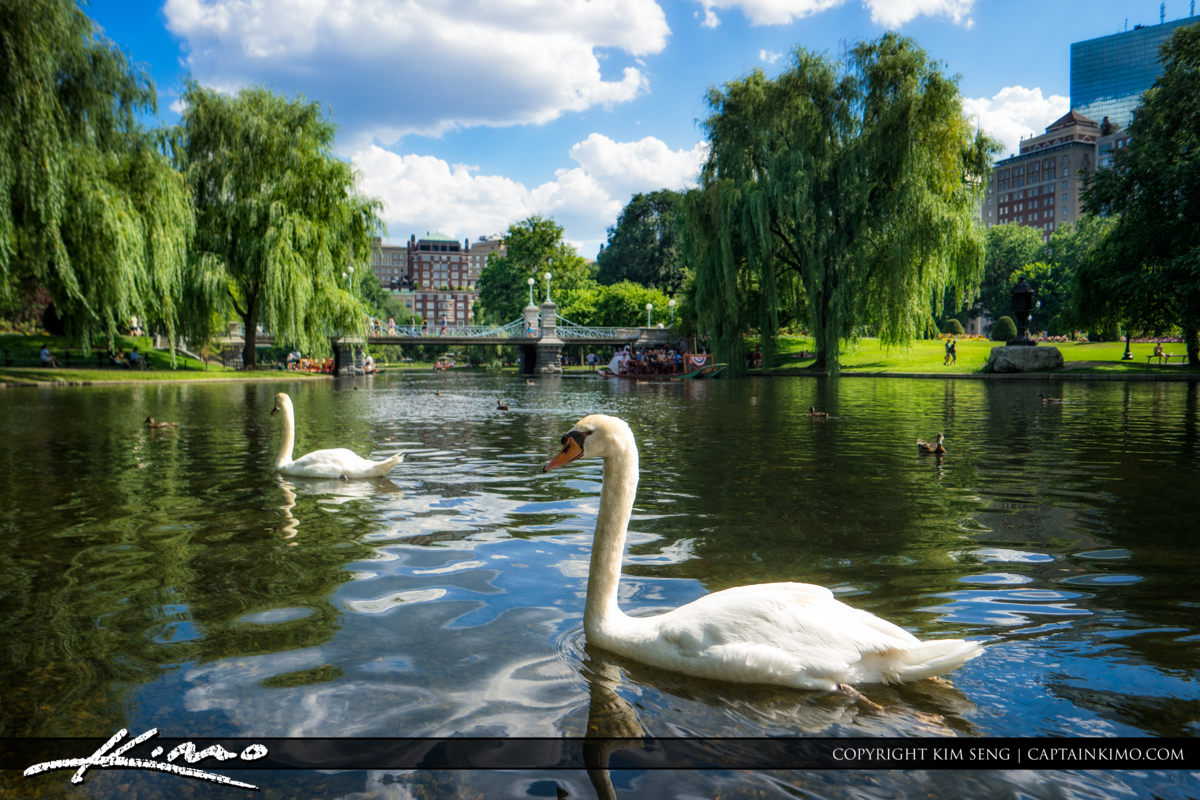 Boston Public Garden Summertime  at Swan Lake with Weeping Willo