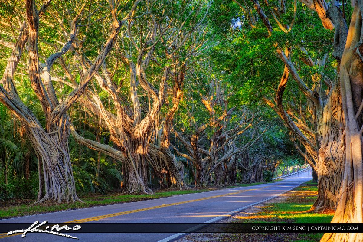 Bridge Road Tree Canopy in Hobe Sound Florida