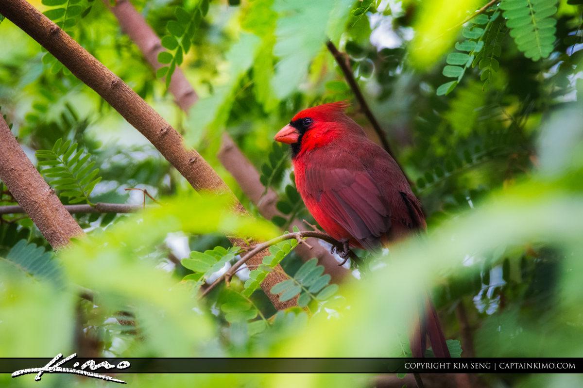Red Cardinal Bird Palm Beach Gardens Florida