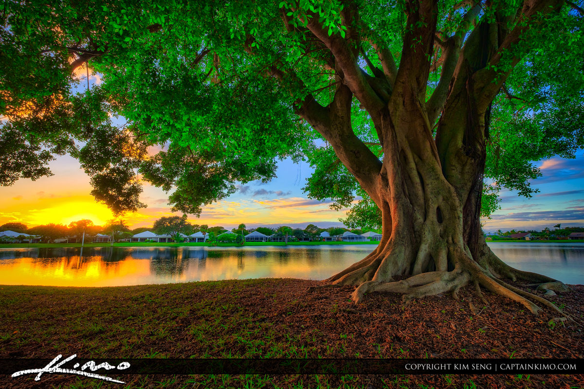 Ficus Tree at Lake Catherine during sunset over Palm Beach Gardens