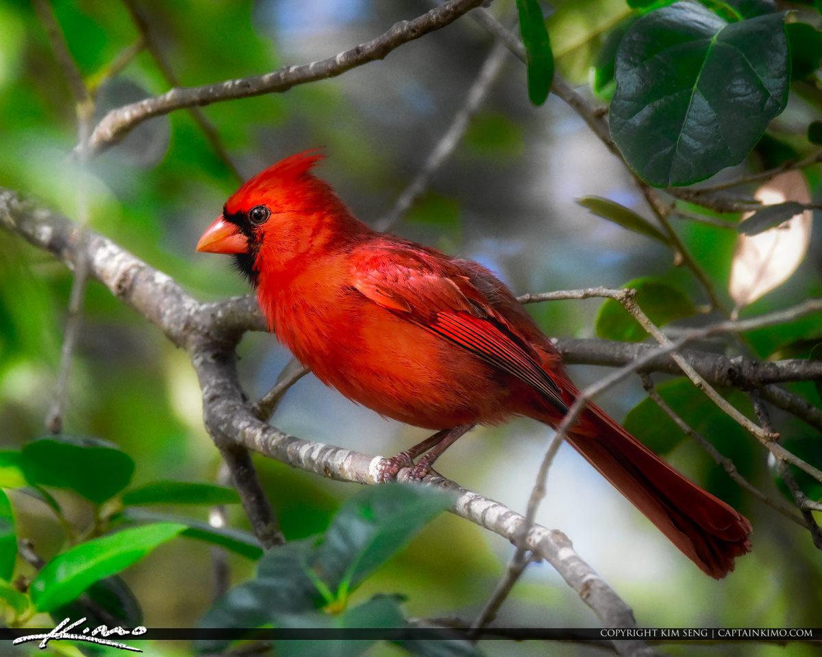 Red Cardinal Green Cay Nature Preserve Boynton Beach