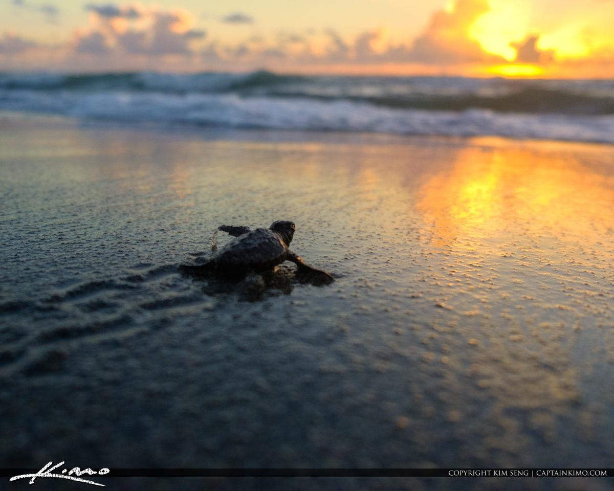 Baby Sea Turtle Sunrise Off to Ocean