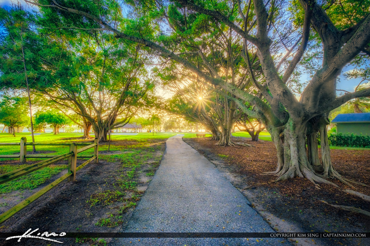 Lakeside Park North Palm Beach Ficus Tree Strangler Vine Square
