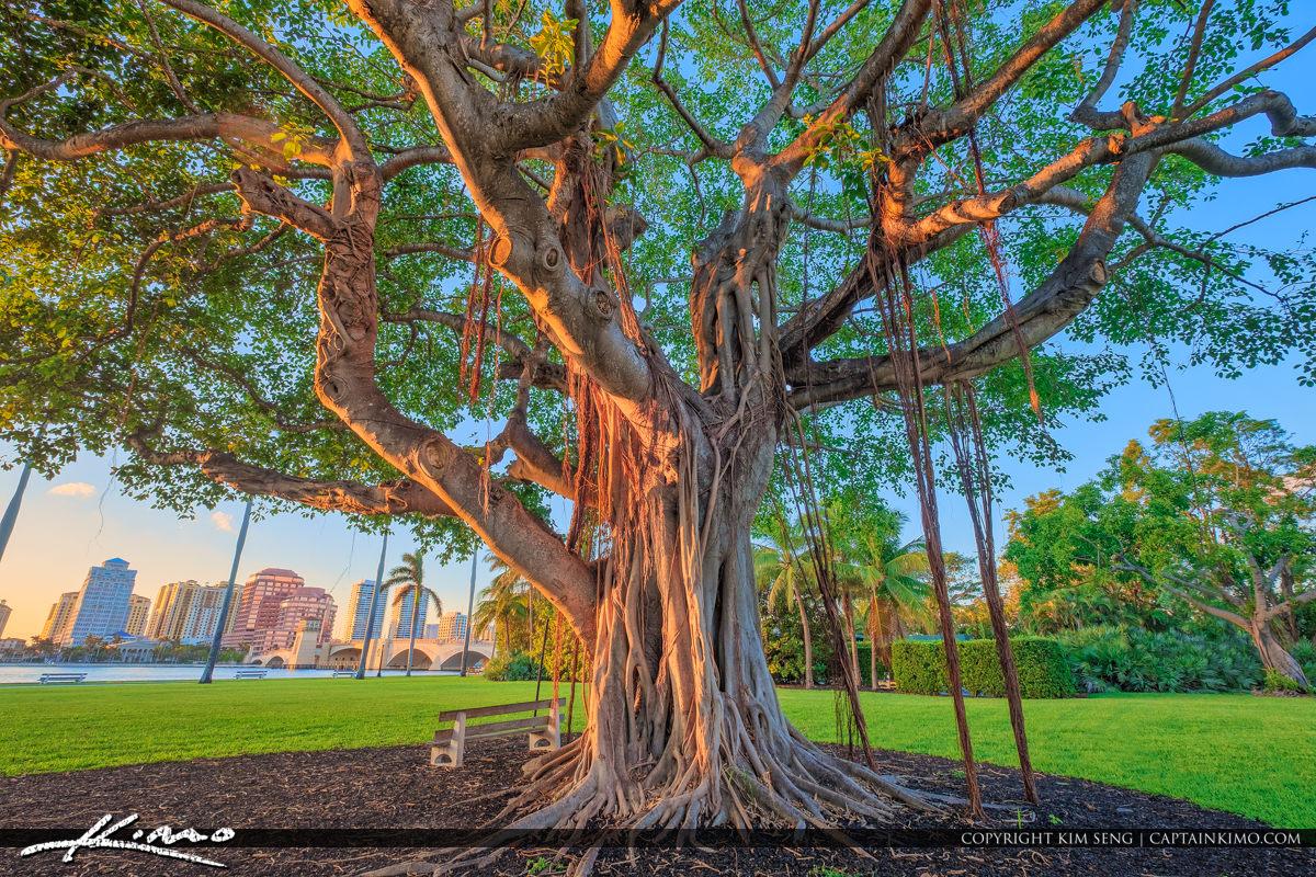 Ficus Tree West Palm Beach at Palm Beach Island