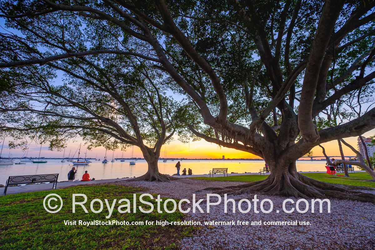 Sarasota Bayfront Large Trees at Bayfront Park Sunset