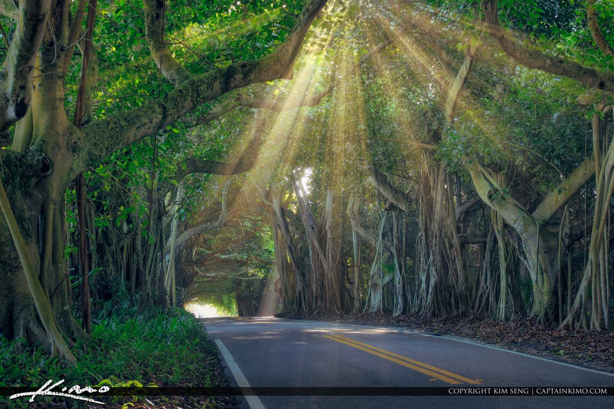Sunray Through Banyan Tree Canopy Stuart Florida