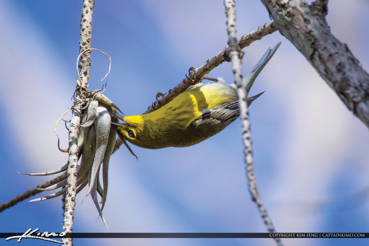 Yellow Warbler Grassy Waters Natural Area Eating