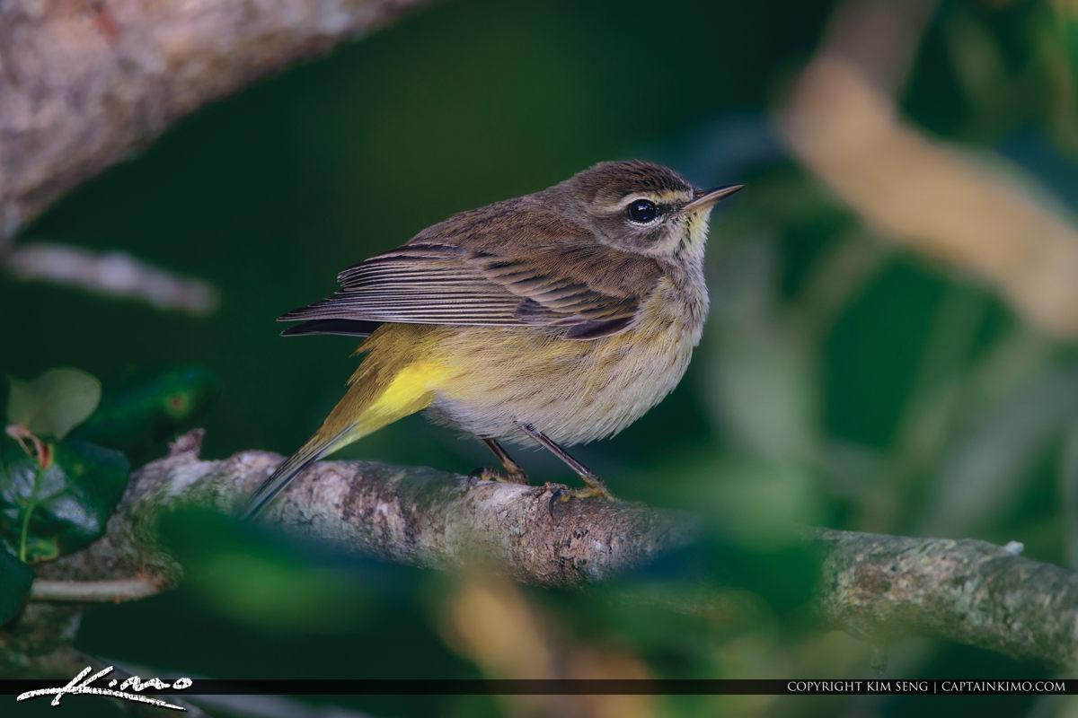 Yellow Rump Warbler Riverbend Park Jupiter Florida
