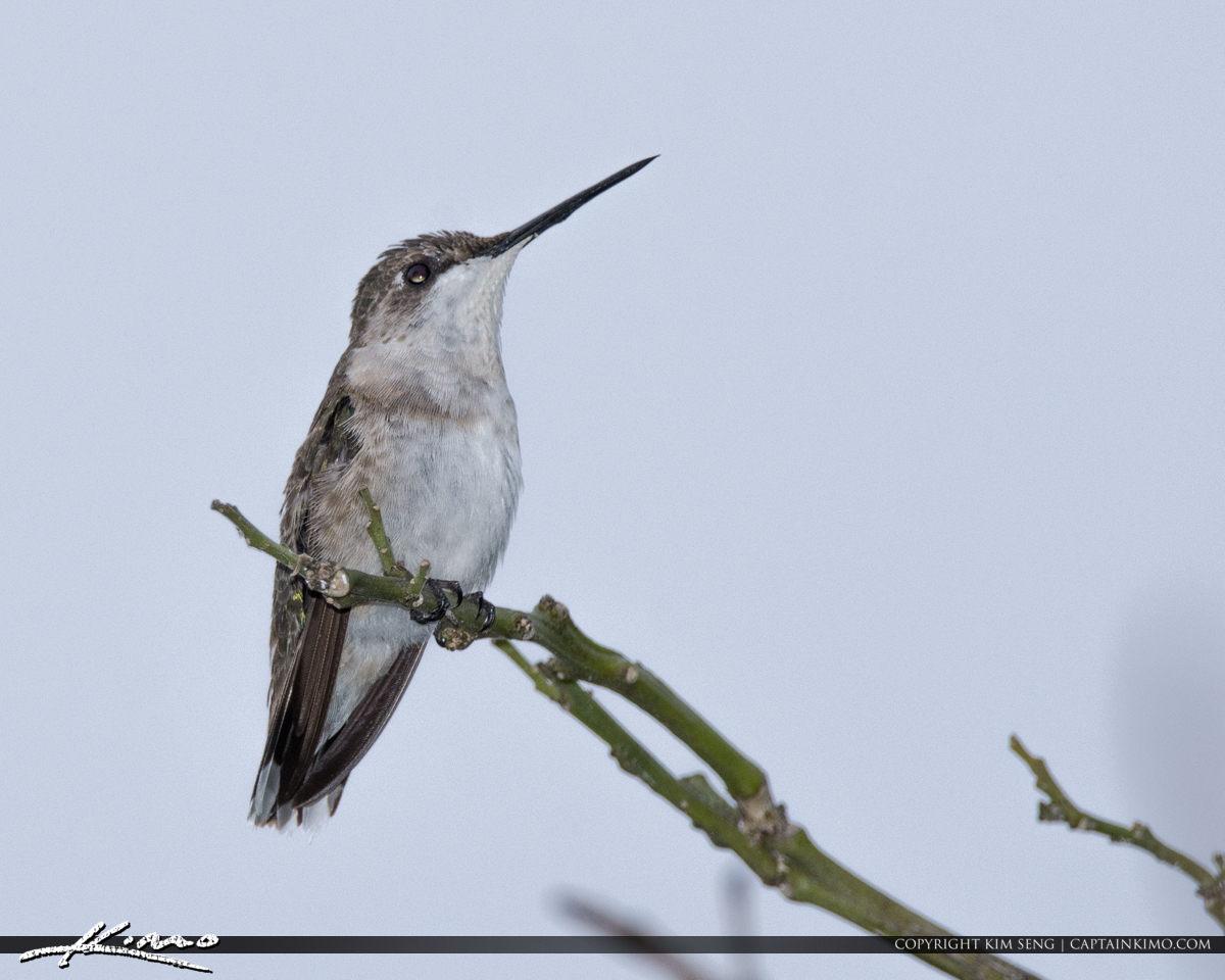 Hummingbird PBG 2018 January 28
