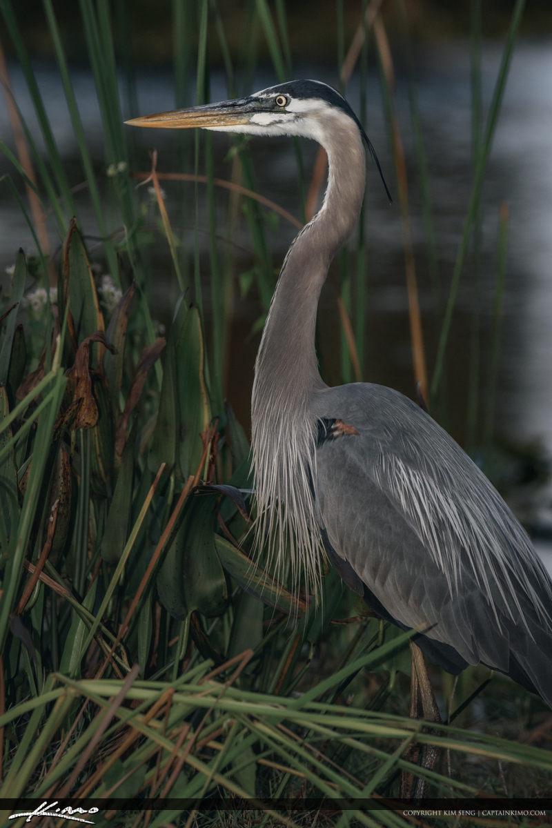Great Blue Heron Sandhill Crane Park Palm Beach Gardens