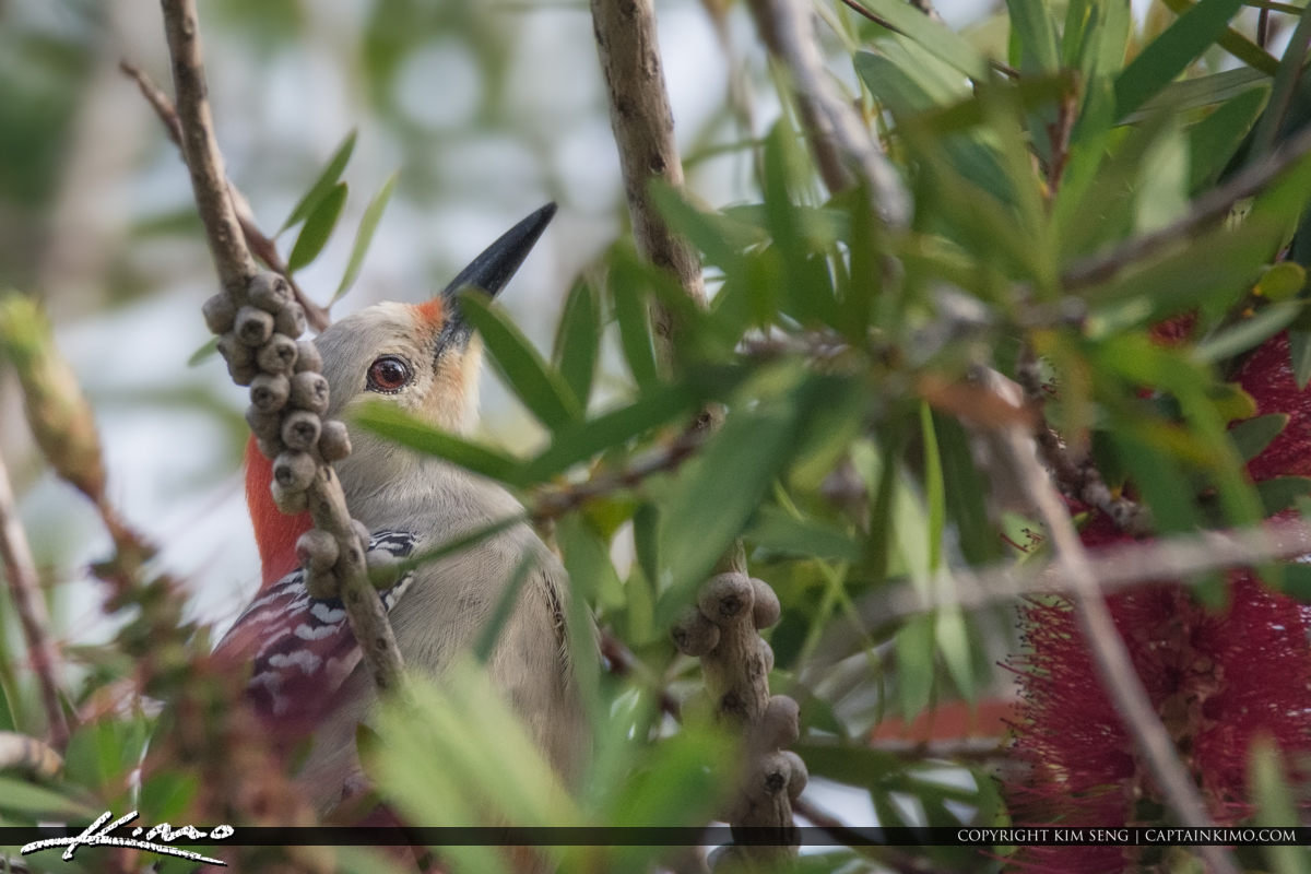 Woodpecker Bottlebrush Plant Palm City