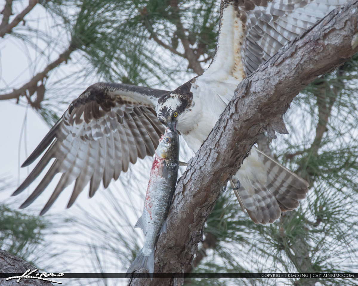 Osprey and Mullet Pine Tree Palm City