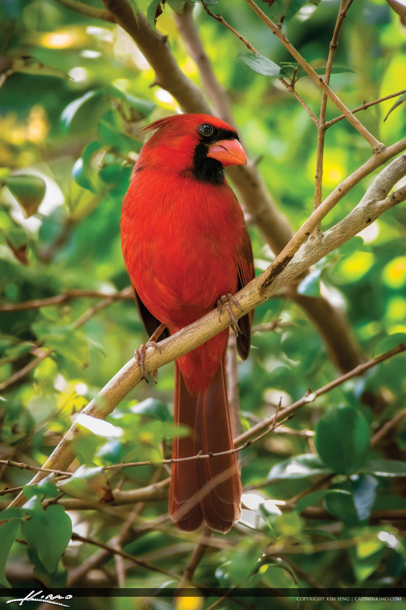 Bright Red Cardinal in Bush Florida Birding