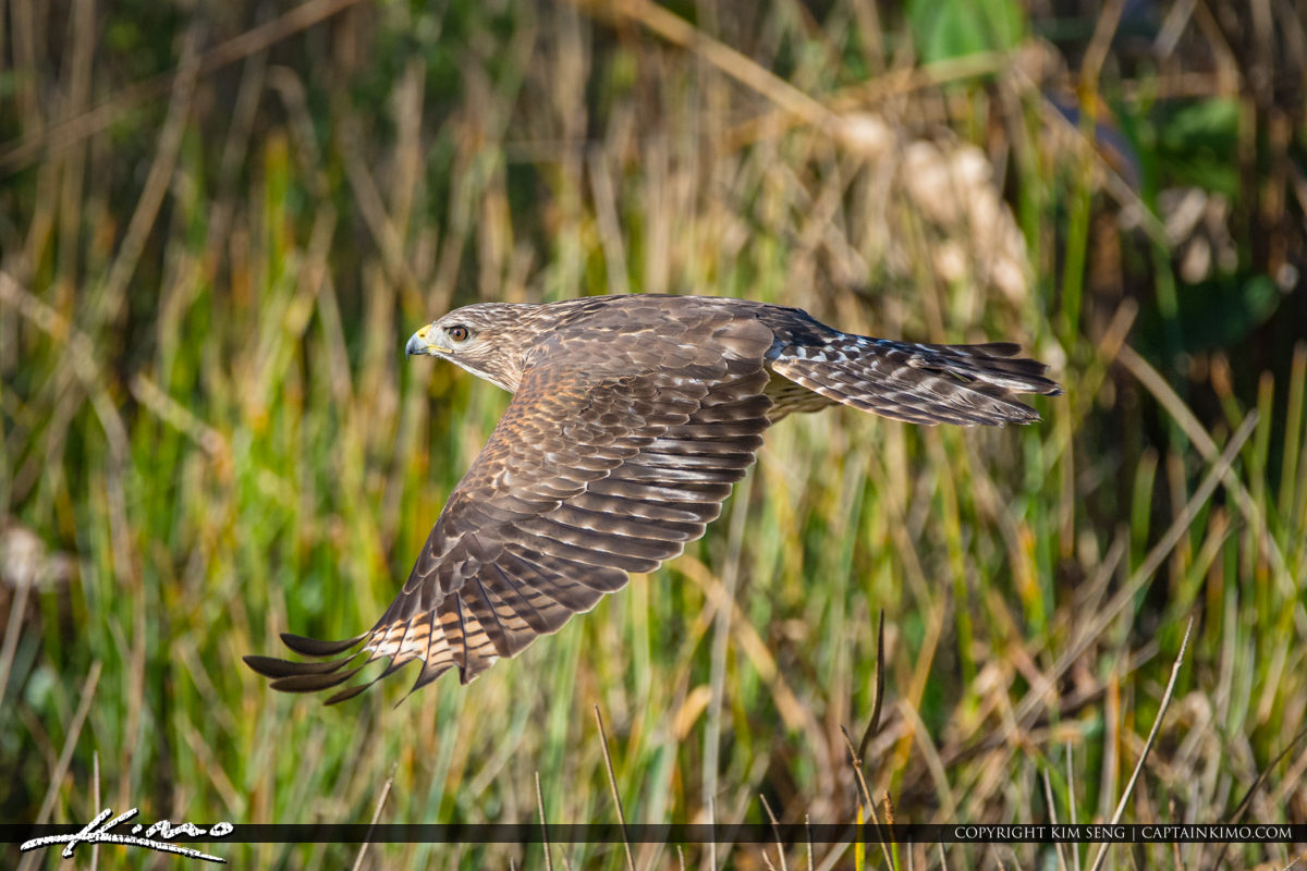 Hawk Flying Wellington Preserve
