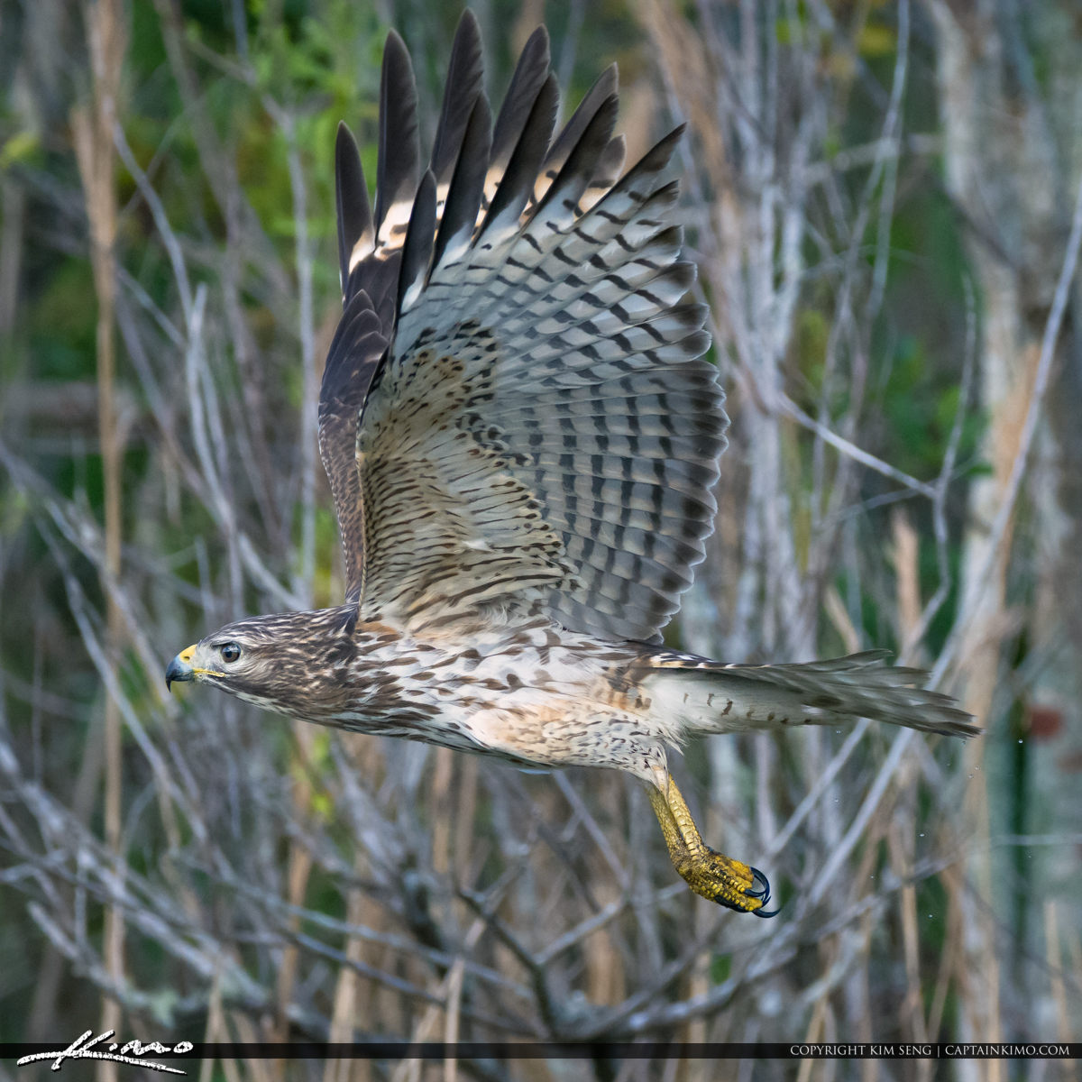 Hawk Inflight with Claws Showing Wellington Natural Area