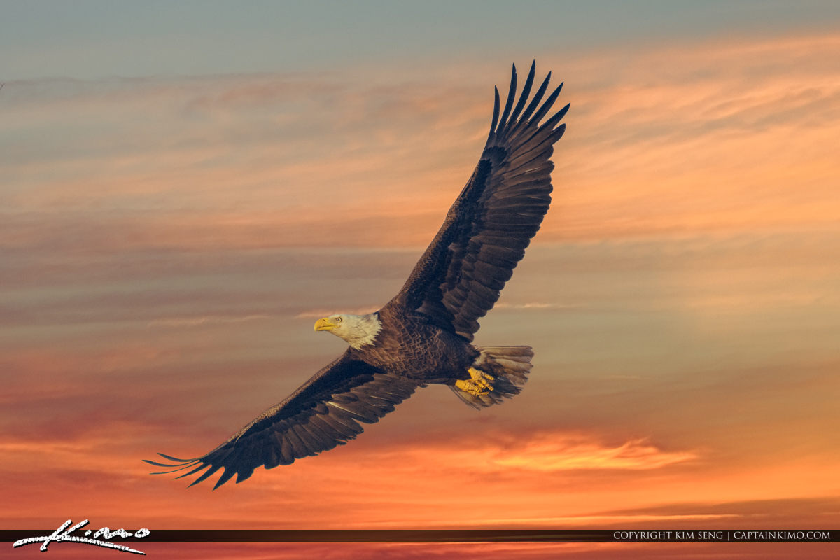 Eagle in Flight Red Warm Sky Over Yeehaw Juction