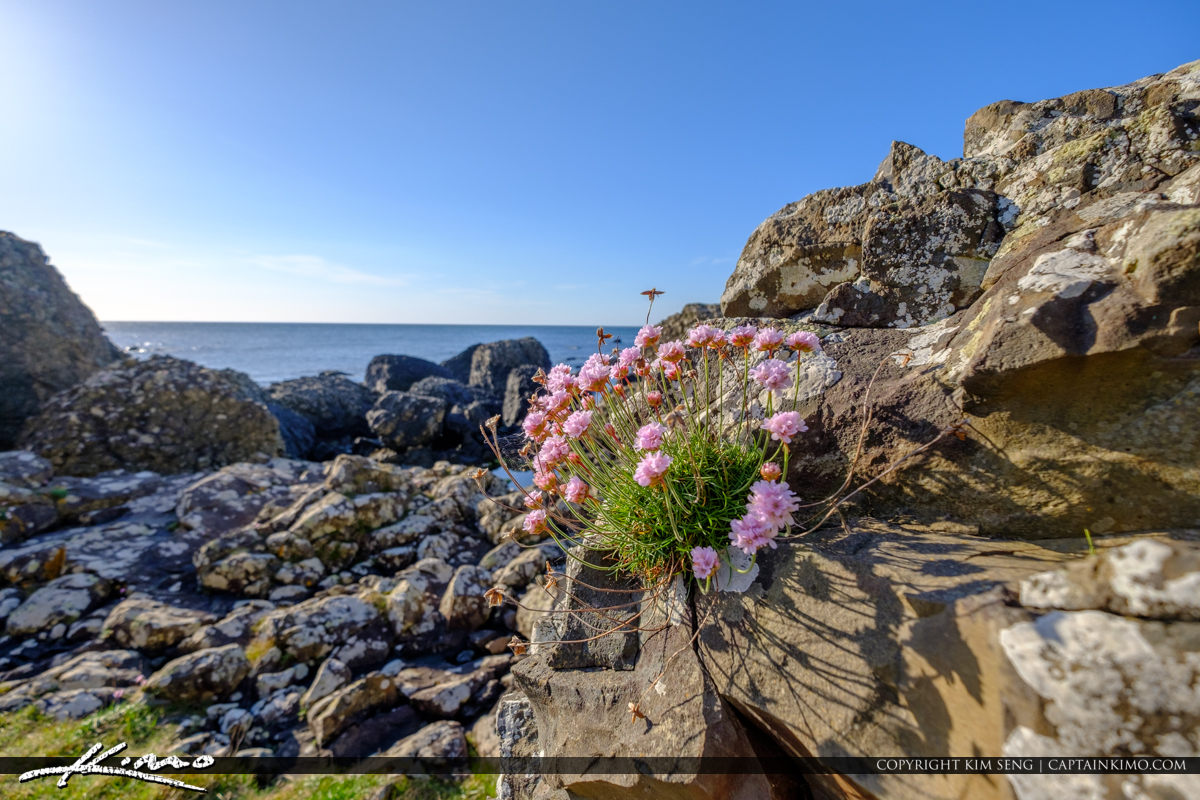 Pink Flowers on Rock Giants Causeway Bushmills Northern Ireland