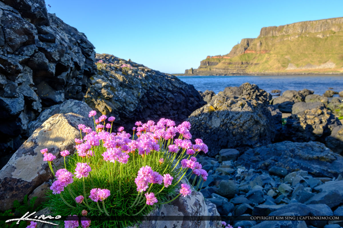 Pink Flower on Rock Giants Causeway Bushmills Northern Ireland