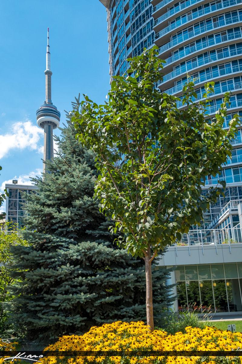 Cn Tower Tree Downtown Toronto Canada