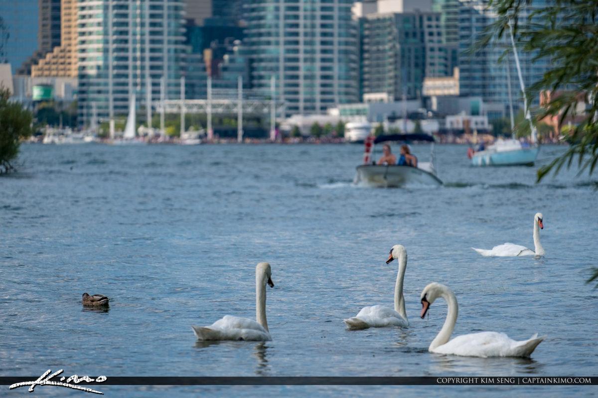 White Swam at Centre Island Toronto Ontario Canada