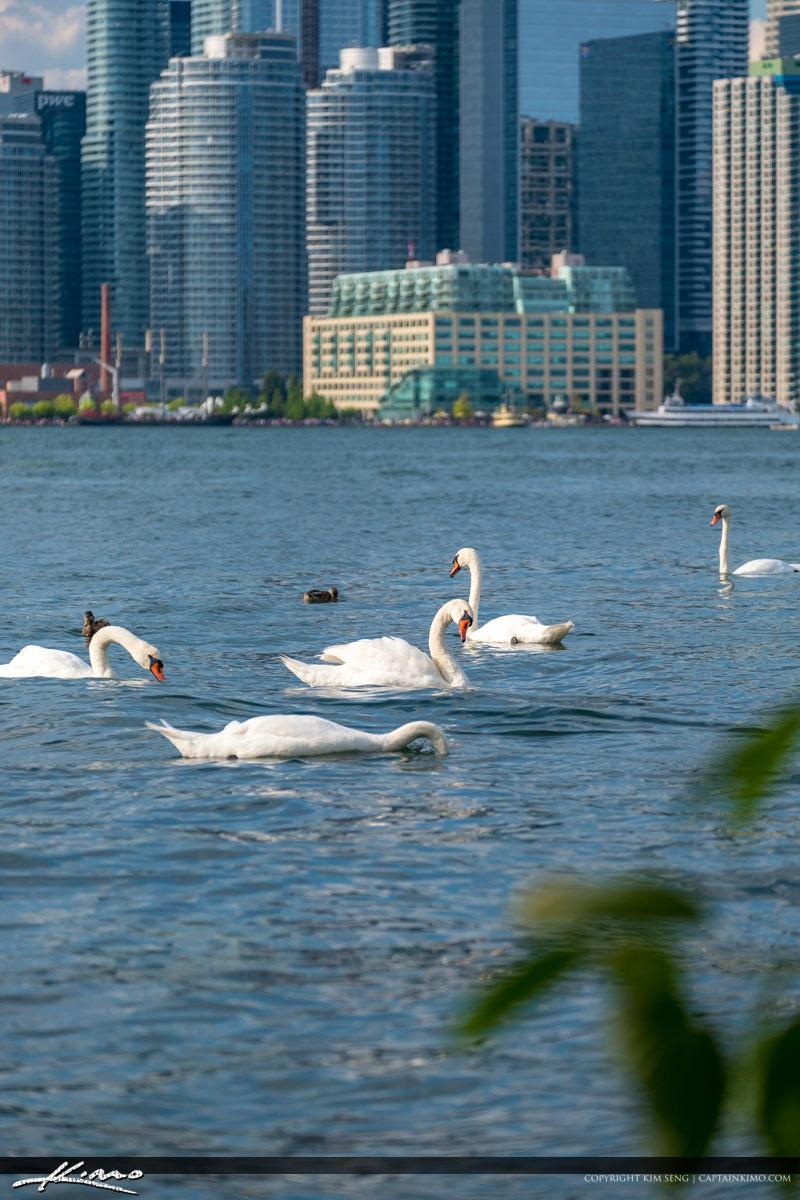 White Swan Centre Island Toronto Ontario Canada