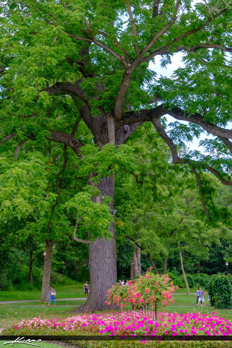 Niagara Falls ON Canada Large Tree