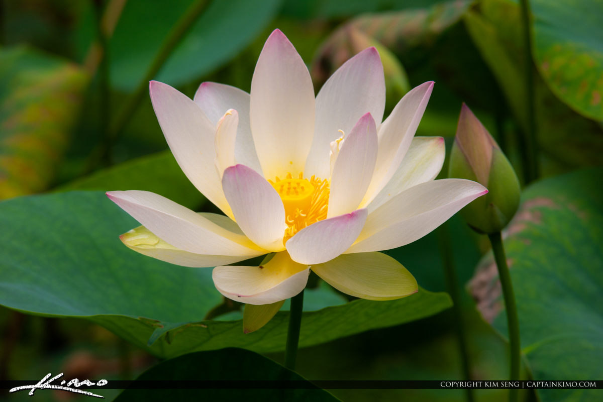 Pink Lotus Flower McKee Botanical Garden Vero Beach Florida