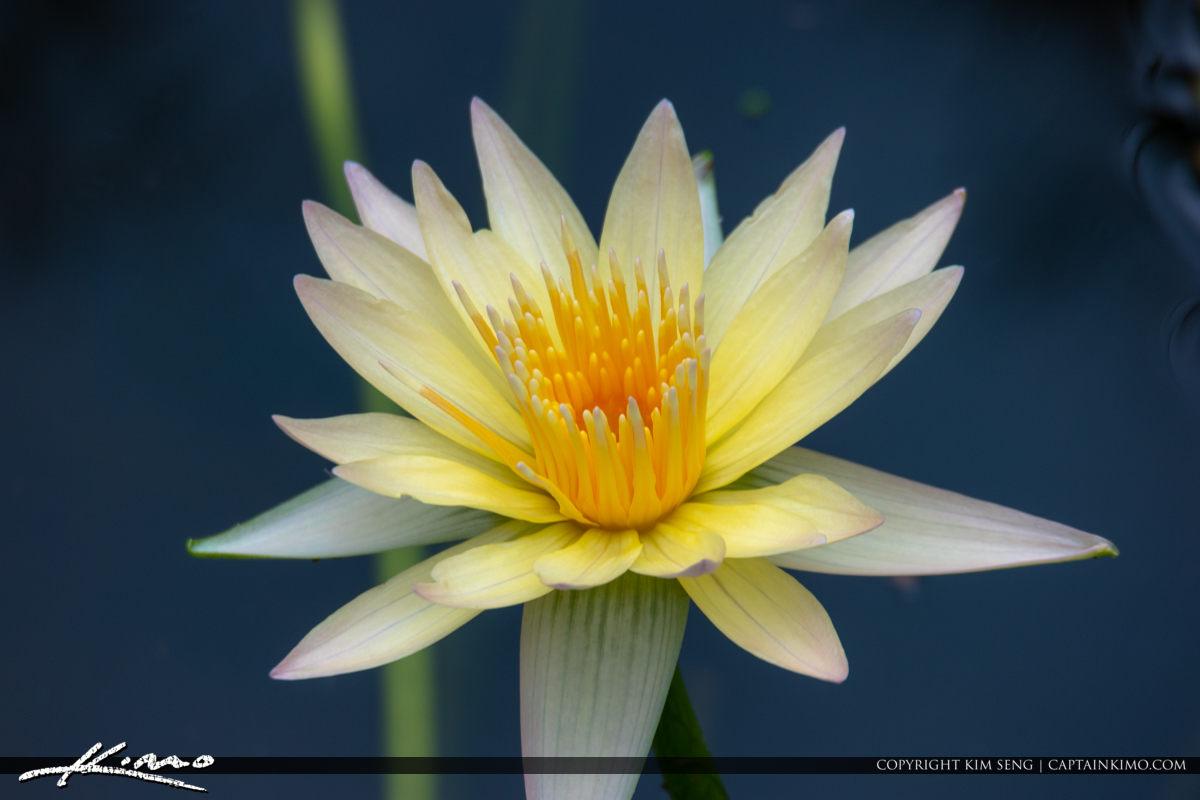 White lily Flower McKee Botanical Garden Vero Beach Florida