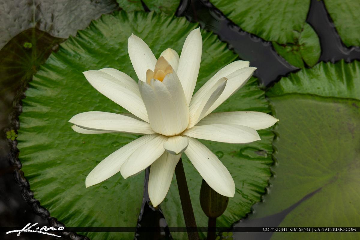 Whoyte Lily Large Flower McKee Botanical Garden Vero Beach Flori